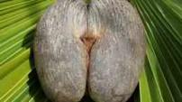 The Coco de Mer (Lodoicea maldivica)