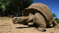 Giant tortoises, often size up to as much as 300 kg and grow to 1.3 m long.