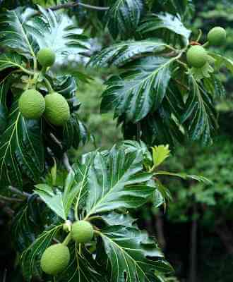 Breadfruit artocarpus altilis tree