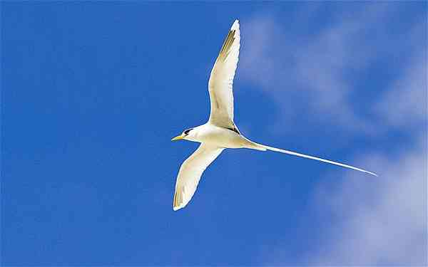 Fairy tern white tail