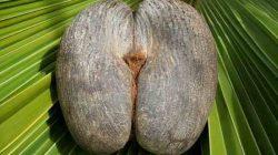 Coco de Mer natural