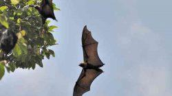 Roussette Bat